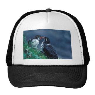 Pares del Auklet del Parakeet Gorra