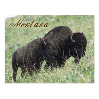Pares del bisonte que pastan en Montana Tarjetas Postales