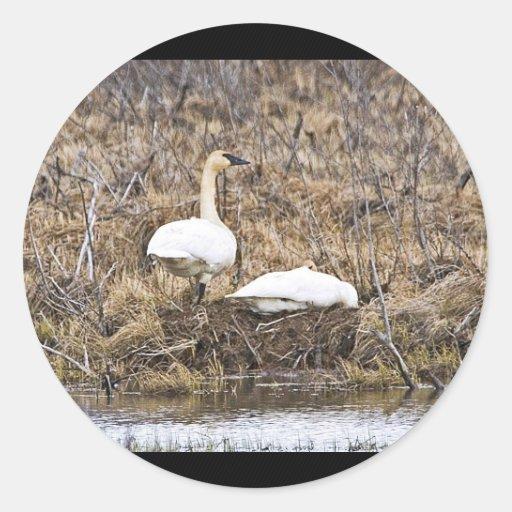 Pares del cisne de trompetista en la jerarquía etiqueta redonda