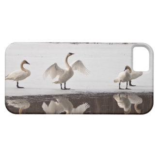 Pares del cisne de trompetista funda para iPhone SE/5/5s