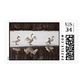 Pares del cisne de trompetista sello postal