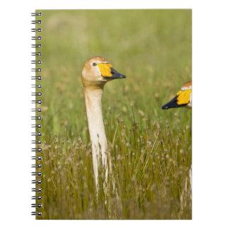 Pares del cisne de Whooper en Islandia Cuaderno