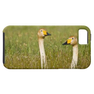Pares del cisne de Whooper en Islandia iPhone 5 Fundas