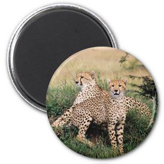 Pares del guepardo imán de frigorifico