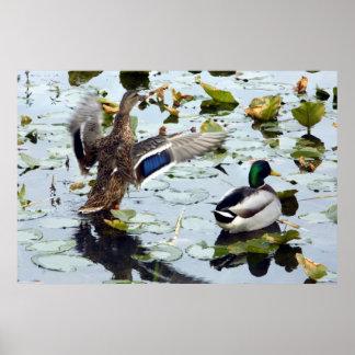 Pares del pato silvestre en los cojines de lirio póster