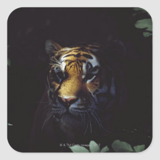 Pares del tigre siberiano (Panthera el Tigris Pegatina Cuadrada