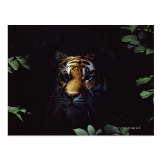 Pares del tigre siberiano (Panthera el Tigris Postales