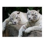 Pares del tigre tarjetas postales