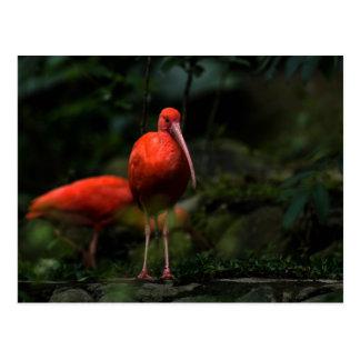 Pares/fotografía de Ibis del escarlata Postal