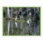 Pares lindos de garzas de Luisiana en agua cerca d Postal