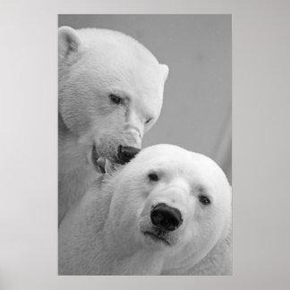 Pares lindos del oso polar poster