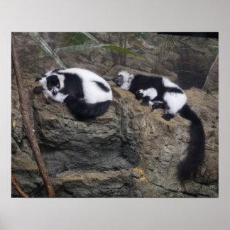 Pares superados blancos y negros del Lemur Napping Posters