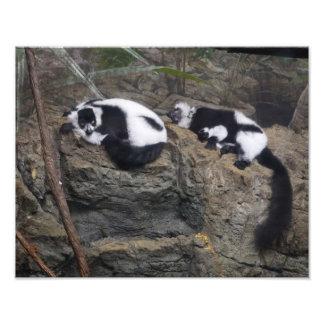 Pares superados blancos y negros del Lemur Napping Arte Fotográfico