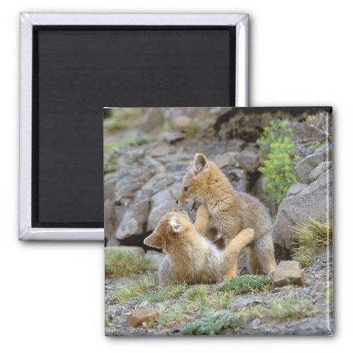 Pares suramericanos 2 del Fox gris (griseus de Lyc Iman