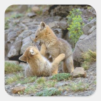 Pares suramericanos 2 del Fox gris (griseus de Pegatina Cuadrada