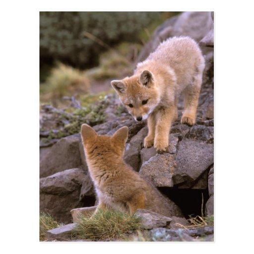 Pares suramericanos del Fox gris (griseus de Lycal Tarjeta Postal