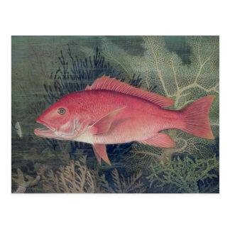 Pargo rojo, de 'pescados del estado unido tarjetas postales