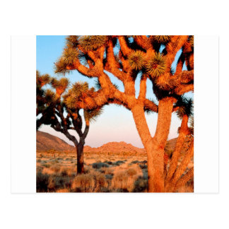 Park Sunrise Joshua Tree Monument California Postcard