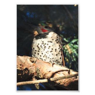parpadeo septentrional 5X7 Fotografía