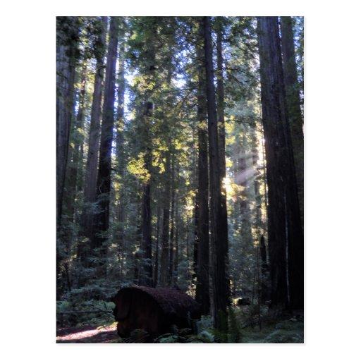 Parque de estado de las secoyas de Humboldt Tarjeta Postal