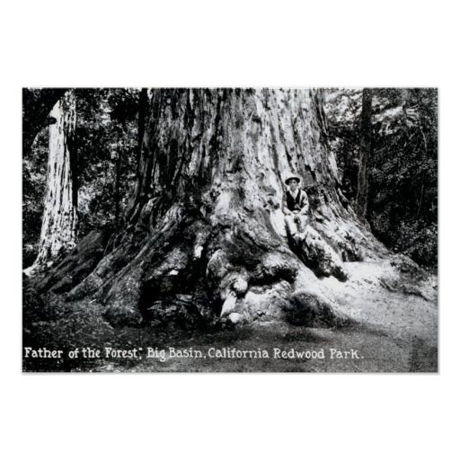 Parque de la secoya de Mariposa California Póster