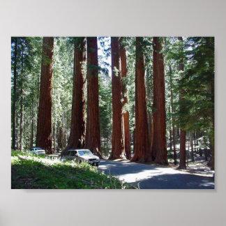 Parque de la secoya del coche del árbol poster