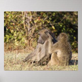 Parque nacional de Kruger Suráfrica Poster