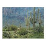Parque nacional de Saguaro, Arizona Tarjeta Postal