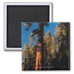 Parque nacional de secoya, California 2 Imán Cuadrado