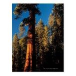 Parque nacional de secoya, California 2 Tarjeta Postal