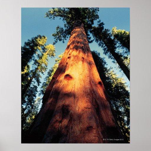 Parque nacional de secoya, California 3 Póster