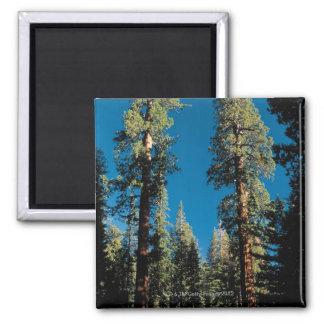 Parque nacional de secoya, California Imán Cuadrado