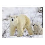 Parque nacional de Wapusk, Canadá Tarjeta Postal
