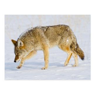 Parque nacional de Wyoming, Yellowstone, coyote Tarjetas Postales