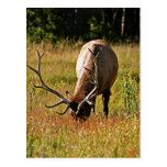 parque nacional de yellowstone, alce tarjetas postales
