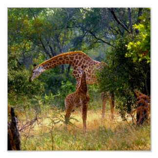 Parque nacional RSA de Kruger de la jirafa y del b Posters