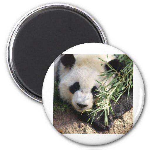 Parque zoológico Atlanta del oso de panda @ Iman De Frigorífico