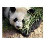 Parque zoológico Atlanta del oso de panda @ Postal