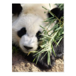 Parque zoológico Atlanta del oso de panda @ Tarjeta Postal