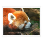 Parque zoológico de Cleveland de la panda roja Impresión Fotográfica
