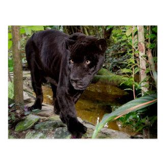 Parque zoológico de la ciudad de Belice. Pantera Tarjetas Postales