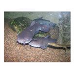 Parque zoológico de la pesca del siluro tarjetas postales
