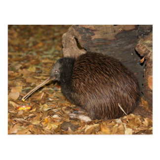 Parque zoológico fresco de Auckland del kiwi Tarjetas Postales