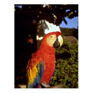 Parrot, Bermuda Post Card