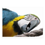 Parrot On Rope Postcards