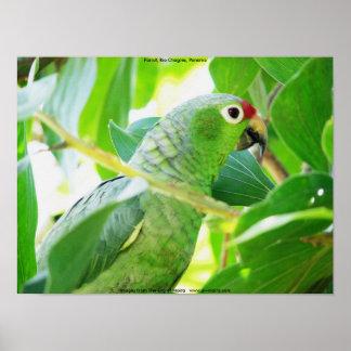 Parrot, Rio Chagres, Panama Print