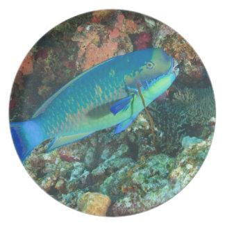 Parrotfish near Taveuni Island, Fiji, South Melamine Plate
