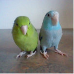 "Parrotlet Sculpture<br><div class=""desc"">A sculpture of our two parrotlets,  Kiwi and Ocean.</div>"