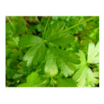Parsley Leafy Green Herb Photography Postcard