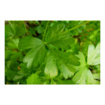 Parsley Leafy Green Herb Photography Poster
